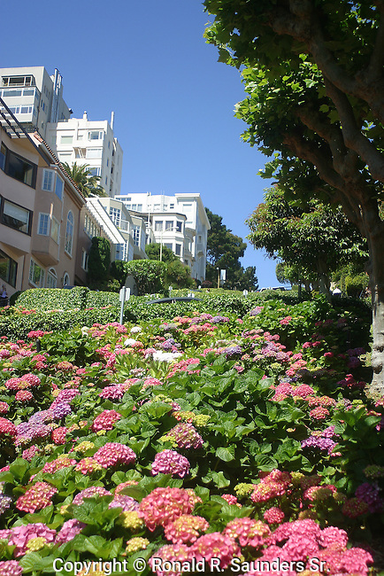 Plants, flowers & trees line Lombard Street,aka, the most crooked street in San Francisco.<br /> flowers
