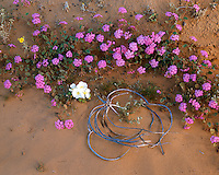Desert Sand Verbena (Abronia villosa) and Evening Primrose (Oenothera sp.) on the Pinta Sands; Cabeza Prieta National Wildlife Refuge, AZ