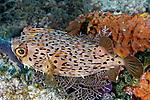 Diodon holocanthus, Longspine balloonfish, Florida Keys