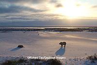 01874-13103 Polar Bear (Ursus maritimus) at sunrise, Churchill Wildlife Management Area, Churchill, MB
