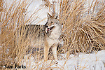 Coyote in winter. Yellowstone National Park, Wyoming.