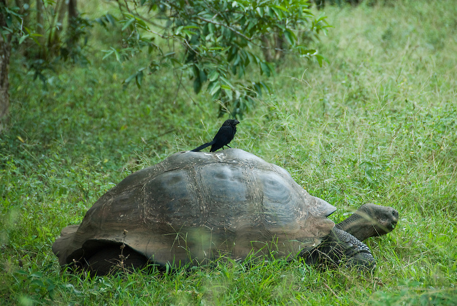 galapagos giant tortoise and ani