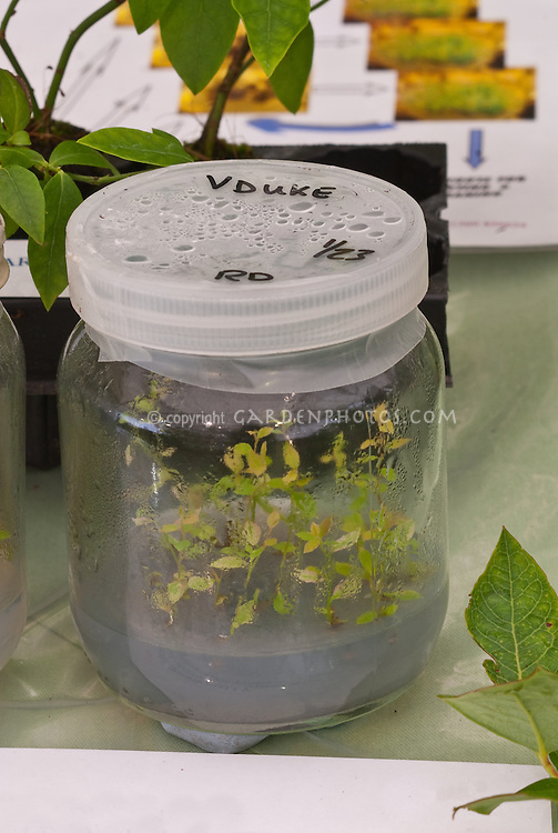 Young plants in sterile lab jars being propagated in laboratory conditions, 'Duke' blueberry plantlets, cloning by artificial methods