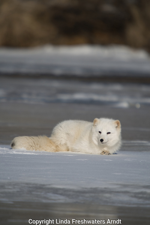 Arctic fox (Alopex lagopus) lying on the snow/ice