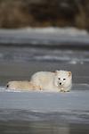 Arctic fox (Alopex lagopus) lying on the snow/ice