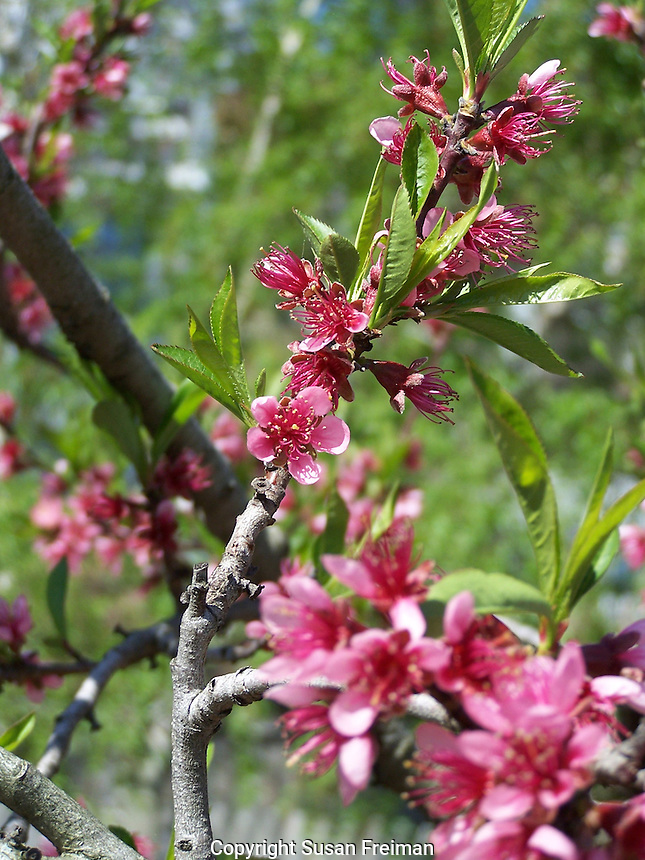 Flowering peach tree, Joan Gussow's garden
