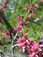Flowering peach tree, Joan Gussow's garden