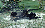 bison rolling in dust in Upper Geyser Basin