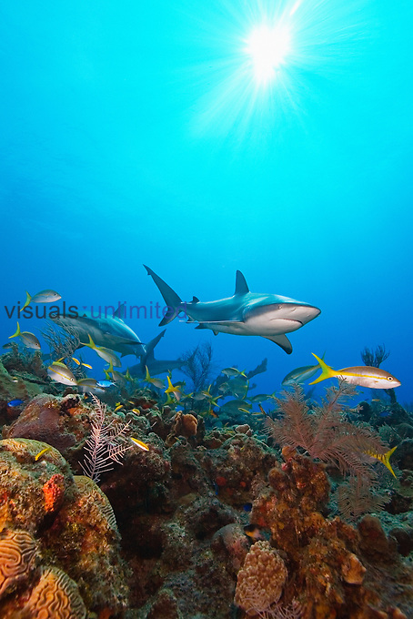 Caribbean Reef Sharks, Carcharhinus perezi, and Yellowtail Snappers, Ocyurus chrysurus, over coral reef, West End, Grand Bahamas, Atlantic Ocean.