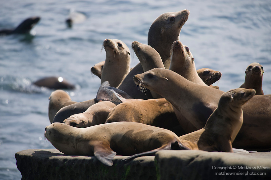La Jolla Cove, San Diego, California; a large number of California Sea Lions (Zalophus californianus) warm themselves out of the water, along the rocky shoreline, their fur dry from long exposure to sunshine, while several other's swim in the water in the background