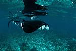 Manta ray (Manta birostris) feeding in the shallows