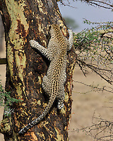 Leopard (Panthera pardus) climbs a Yellow barked acacia tree