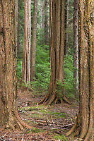 Second growth forest, Tongass National Forest, Sitka, Alaska