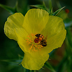 Close-up of a yellow wild flower, with a bee collecting the honeydew.