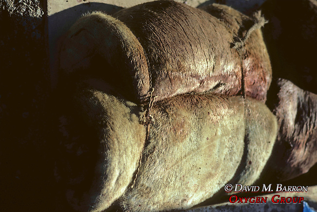Rolled Skin Of Bearded Seal