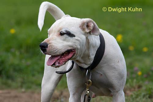 SH40-631z  American Bulldog, Close-up of face,  Canis lupus familiaris