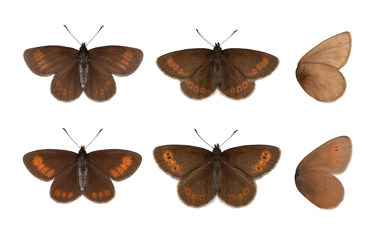 Mountain Ringlet - Erebia epiphron - top row (Lake District) - bottom row (Scotland). Wingspan 32mm. A small and surprisingly delicate butterfly given the hostile upland habitats it favours. Adult has brown upperwings with an orange band marked with small eyespots. Underwings are brown overall; on forewing note broad yellow-orange central area, with small dark eyespots. Flies June–July but only active in sunshine; drops into cover immediately a cloud obscures the sun. Larva feeds on grasses. Very local on moors and mountains in Lake District and central Scottish Highlands.