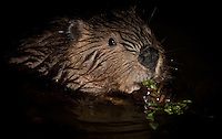 Beaver feeding at night at  Lake Ouachita.