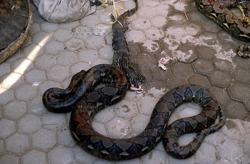 Indonesia, Java island: the reptiles of the dukun Pak Iwo.<br /> Indonesia, Giava: i rettili del dukun Pak Iwo