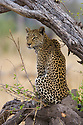 Leopard (Panthera pardus) sitting on branch, Okavango Delta, Moremi Game Reserve, Botswana