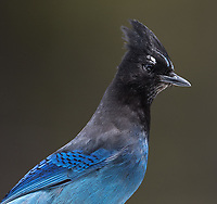 This is such a common bird in Yellowstone, but one I never have much luck photographing.