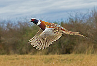 Ring-necked pheasant rooster in flight.<br />