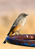 The Say's Phoebe (Sayornis saya) is a perching bird in the flycatcher family