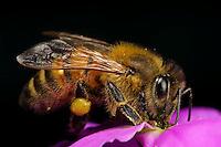 Honeybee, 1X life size