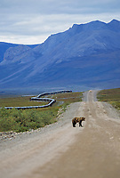 Grizzly bear crosses the James Dalton Highway (Haul Road), Trans Alaska Oil Pipeline, Alaska's Arctic north slope.
