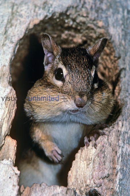 Eastern Chipmunk (Tamias striatus) in a tree den hole with cheeks full of seeds, Eastern USA