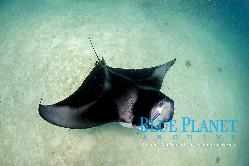 reef manta ray, Manta alfredi, feeding, Republic of Maldives, Laccadive Sea, Indian Ocean