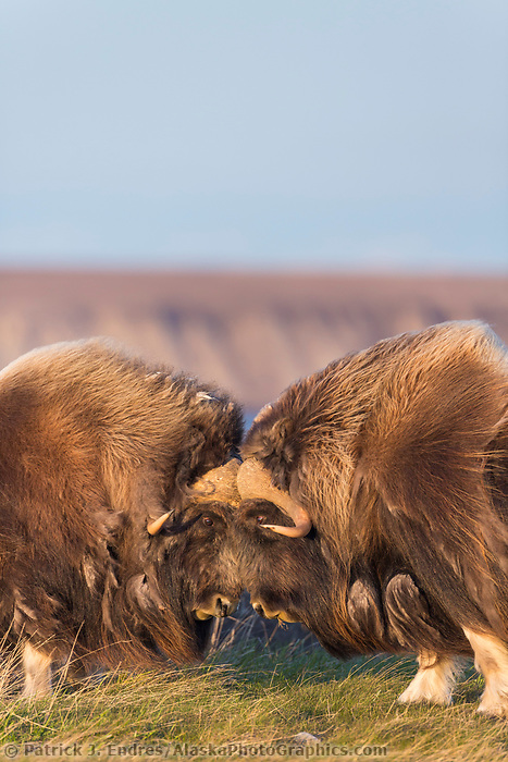 Bull muskox challenge each other by banging their horns, arctic coastal plain, Alaska.