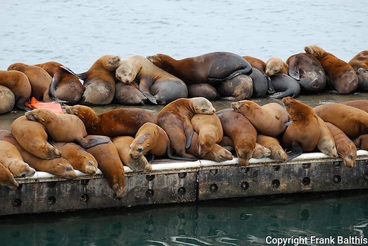California sea lions in Moss Landing, CA