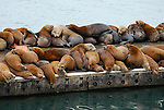 California sea lions in Moss Landing, CA