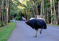 The Southern Cassowary, Casuarius casuarius, also known as the Double-wattled Cassowary, Australian Cassowary or Two-wattled Cassowary, is a large flightless black bird. It is a Ratite and therefore closely related to the Emu, Ostrich, and Rhea...