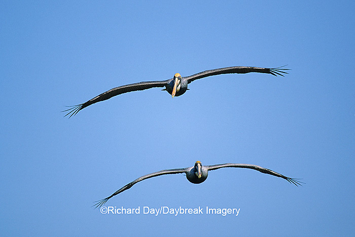 00672-00304  Two Brown Pelicans (Pelecanus occidentalis) in flight    FL