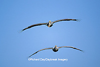 00672-00304  Two Brown Pelicans (Pelecanus occidentalis) in flight    FL