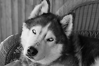 Siberian Husky Lakota Sunrise aka Koty Bear. Koty was named for his father Lakota Braveheart and his Mother Tequila Sunrise. He was my beloved companion for over 13 years. He was as beautiful on the inside as he was on the outside. He will live forever in my heart.<br /> <br /> http://kotybear.blogspot.com/2013/02/lakota-sunrise-october-1-1999-february.html