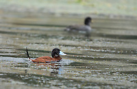 Male Andean Ruddy Duck, Oxyura ferruginea, swimming on San Pablo Lake, Ecuador
