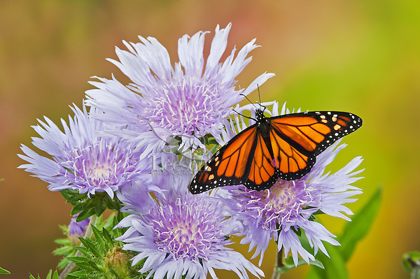 Viceroy (Limenitis archippus) butterflies on Stokes' Aster (Stokesia laevis) flowers, summer, North America.