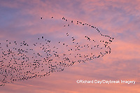 00754-02515 Snow Geese (Chen caerulescens) in flight at sunrise Marion Co. IL