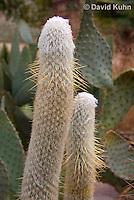 1202-0818  Peruvian Old Man Cactus, Detail of Column, Espostoa lanata  © David Kuhn/Dwight Kuhn Photography
