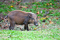 Bornean bearded pig (Sus barbatus) Weighing anywhere between 60-80kg and sometimes exceeding 120kg, the Bornean bearded pigs are the largest mammals that one can see in Bako National Park. Demographically, they are endemic to South East Asia, especially in Sumatra, Borneo and the Philippines. With a scientific name of Sus barbatus, they form a species of pig with distinctive beard of bristles lining both sides of their snouts.