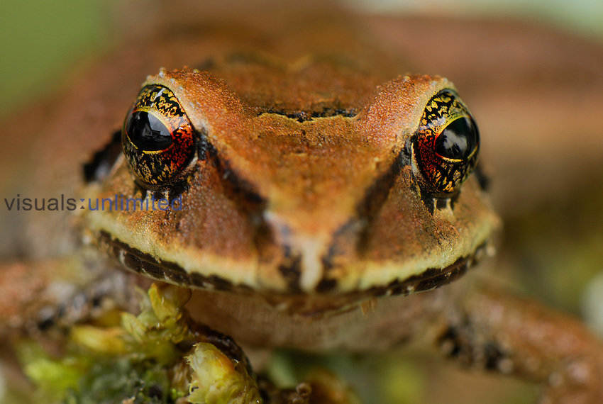 Frog (Eleutherodactylus eriphus), Coln, Depart. Putumayo, Colombia
