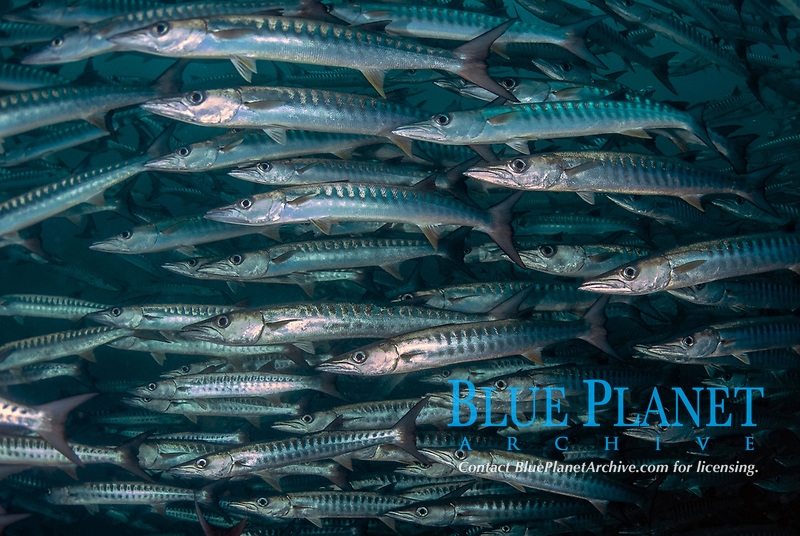 School of Blackfin Barracuda, Sphyraena qenie, Barracuda Point dive site, Sipadan island, Sabah, Malaysia, Celebes Sea