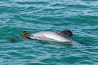 Hector's dolphin, Cephalorhynchus hectori, playing with kelp, Akaroa, South Island, New Zealand