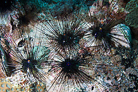 RA74817-D. Longspine Sea Urchins (Diadema sp.). Important herbivores on the reef, graze on algae, helping to prevent algae from exploding and smothering stony corals. Long spines can inflict painful wound. Philippines. Tropical Indo-Pacific oceans.<br /> Photo Copyright &copy; Brandon Cole. All rights reserved worldwide.  www.brandoncole.com