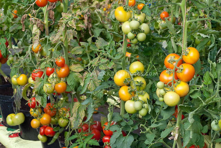 Staked tomatoes in pots containers
