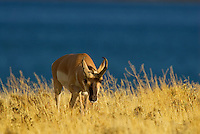 Pronghorn (Antilocapra americana) buck