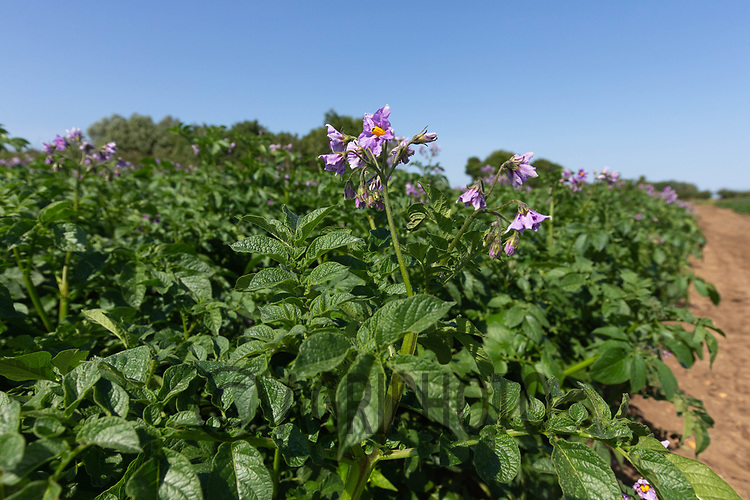 23.6.2020 Potatoes flowering <br /> ©Tim Scrivener Photographer 07850 303986<br />      ....Covering Agriculture In The UK.